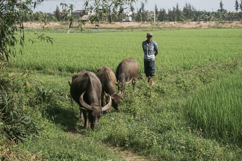 water buffalos hoian vietnam